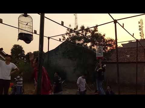 Kolibri Ninja Makin di minati kicau mania lampung