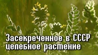 АСТРАГАЛ - трава ЖИЗНИ, засекреченная Сталиным