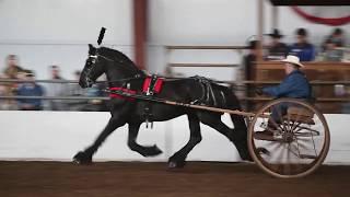Albert   Friesian Stallion