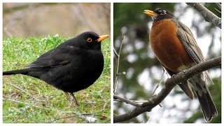 American Robin and Common Blackbird - 2 singing at the end