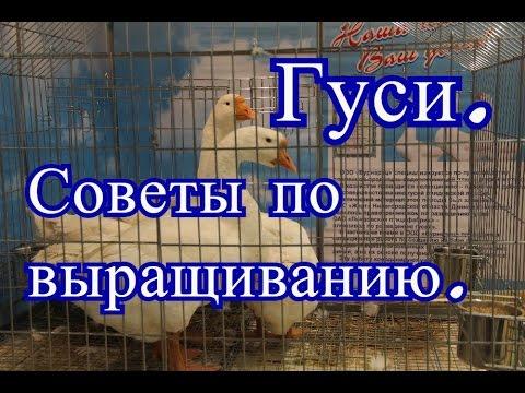 Гуси. Советы по выращиванию с Выставки Золотая Осень 2016.