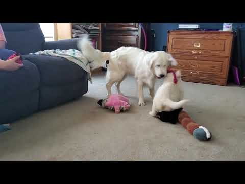 English Golden Retriever Play Tug A War With Puppy.