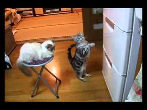 Kot błagający o jedzienie