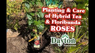 Planting & Care Of Hybrid Tea & Floribunda Roses