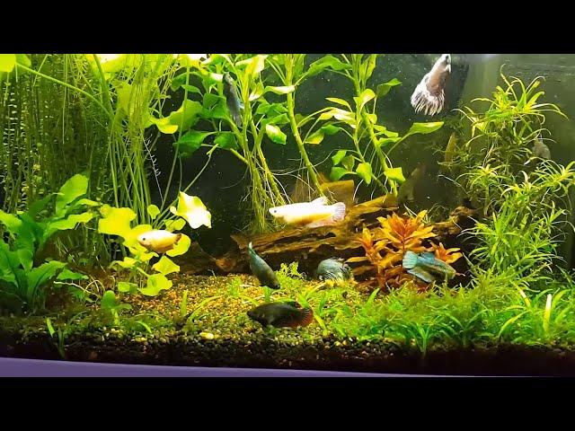 It works! 2 Male, 8 Female Betta Splendens together in a 17 Gallon Aquarium