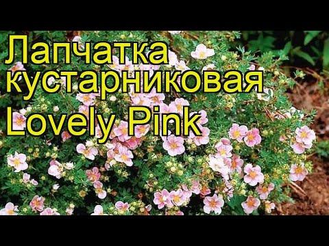 Лапчатка кустарниковая Lovely Pink. Краткий обзор, описание характеристик