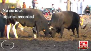 Bullfighting in Oman
