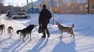 Проблема дикой собачьей стаи решилась неожиданно. Real video