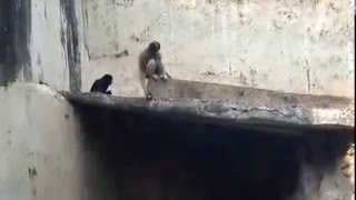 Funny Apes video, making funny noise