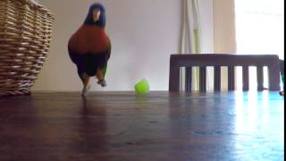 Rainbow Lorikeet Is The Happiest Bird | Birdy Dance