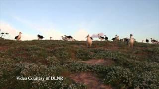 Kure Laysan Albatross
