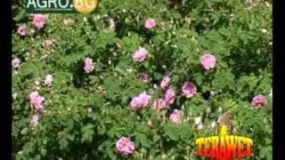 Създаване на розови масиви