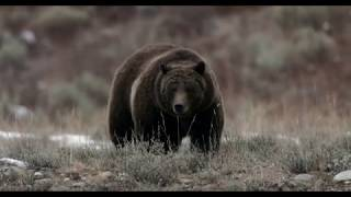 Grizzly Bear #399  (journey to hibernation)  4K