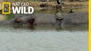 Sneaky Turtles Sunbathe on a Hippo's Back   Nat Geo Wild