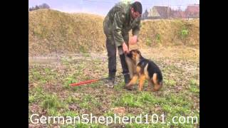 4 month old German Shepherd training