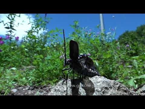 庭のゴマダラカミキリの飛翔