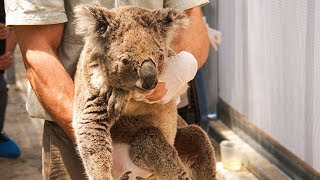 video: Thousands of koalas burn to death as Australia fears native wildlife may never recover from bush fire disaster