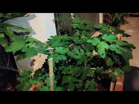 7kg | Sung mỹ Trồng trước nhà THẾ NÀO |cây sung mỹ, trái sung mỹ