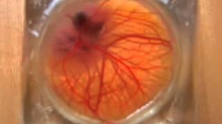 Bilim İnsanları Tarafından Geliştirilmiş Şeffaf Yumurta Kabuğu