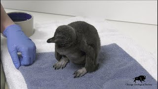 Penguin Chick at Brookfield Zoo