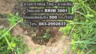 ยางพาราพันธุ์ใหม่ rrim 3001.mpg