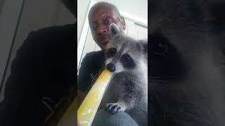 cooling Racoon
