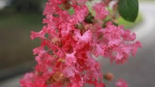 晩夏の花暦京都御苑の百日紅さるすべり