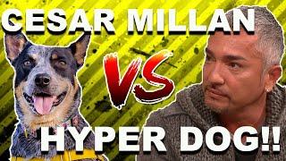 Cesar Millan vs. HYPER DOG (Stop Dog Lunging)