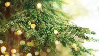 How to Care for a Real Christmas Tree