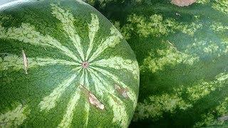 Первые арбузы Кубани: можно ли доверять раннему урожаю