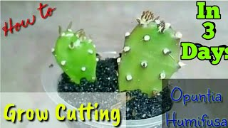 How to grow Cuttings in 3 days with 💯 % Success rate ? Grow Cactus from Cutting | Best For Beginner