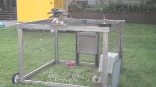 Hawk Tries To Get Through Chicken Wire
