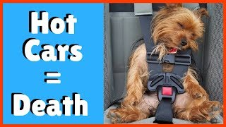 Dogs Die in Hot Cars | Please don't leave your dog in car.