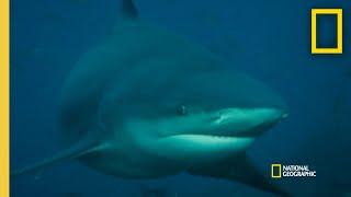 What Could Trigger a Shark Attack? |  Rogue Shark thumbnail