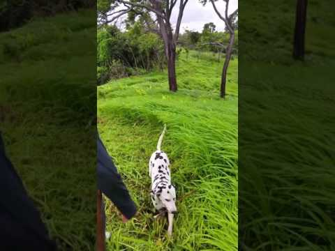 Lucky... Gran Couva, Tortuga, Dalmatian shows how to play fetch on our MTB trail