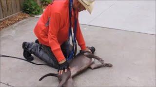 Side-Submitting Dominant Pit Bulls & Power Breeds - Dog Whisperer BIG CHUCK MCBRIDE