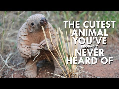 Watch: Pangolins Are Just the Cutest!