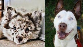 Top 10 cruzas mas increibles en razas de perros