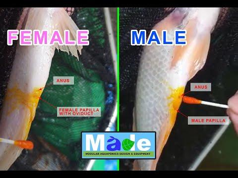 Cách phân biệt cá rô phi đực và cái