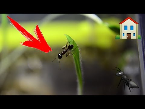 Заселение муравьев в новый дом. Муравьиная ферма. DIY