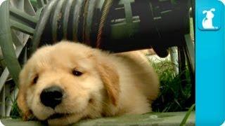 Puppy Love - Golden Retriever Puppies