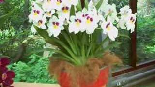Orchids Keukenkof
