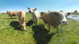 360° Getting Licked by a Cow in Ireland 4k
