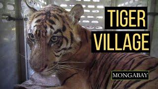 "Tiger ""descendants"" work to rescue critically endangered Sumatran tiger | Big cat conservation"