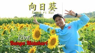 preview picture of video 'Kebun Bunga Matahari向日葵 ||vlog--Sepedaan di pingLu County 平陆山西 China'