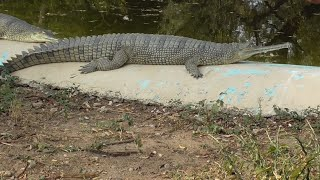 Biggest West African Slender-Snouted Crocodile Captured !