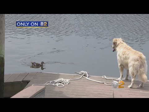 Duck And Dog Become Best Friends