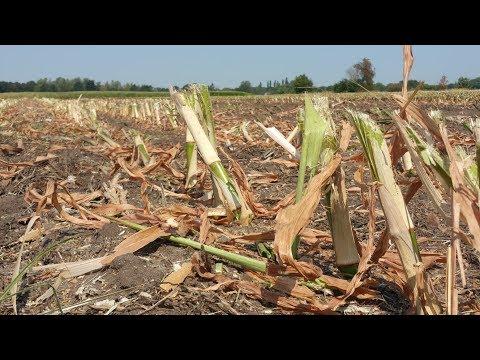 Agrariërs hakselen door aanhoudende droogte nu al hun maïs