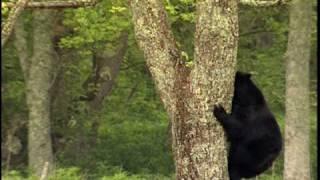 Black Bears - National Park Animals for Kids