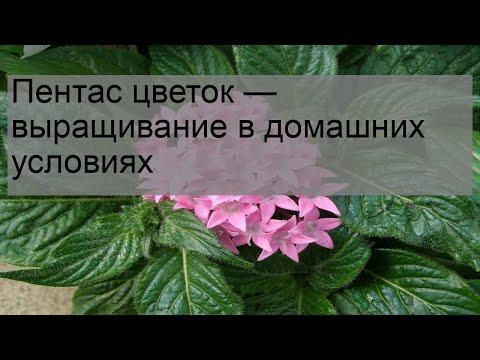 Пентас цветок — выращивание в домашних условиях